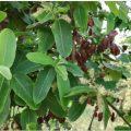ارجن درخت اور اس کے پتے