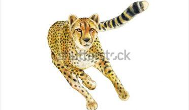 ایک چیتا جو سفید بیک گرائونڈ میں دوڑتا نظرآرہا ہے