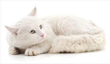 خوبصورت سفید بلی