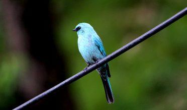 Verditer_Flycatcher_bird