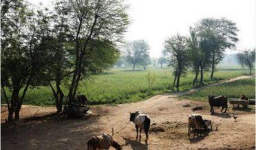 پاکستان، پنجاب کا ایک گائوں، مویشی بندھے ہوئے ہیں