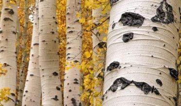 درخت، استور، گلگت بلتستان